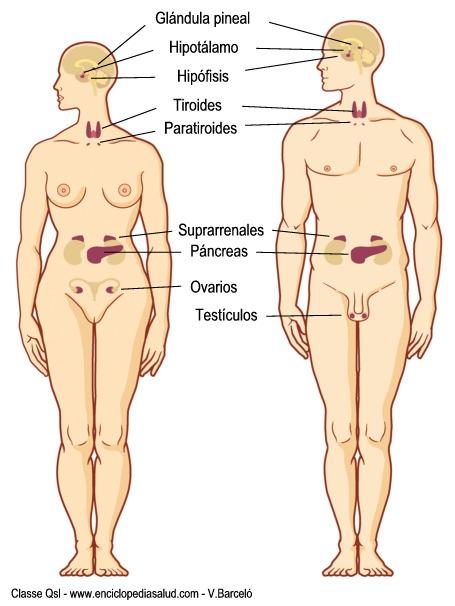 Enciclopedia Salud: ¿Qué es una glándula? Glándulas endocrinas