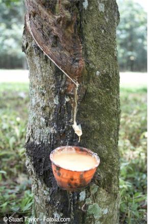 Extracción de latex del arbol del caucho