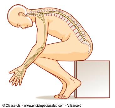 Enciclopedia Salud: La médula espinal y los nervios raquídeos