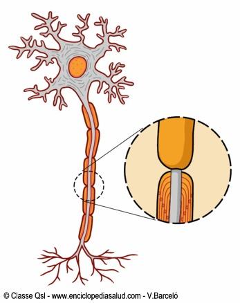 Mielina y células gliares que recubren las neuronas