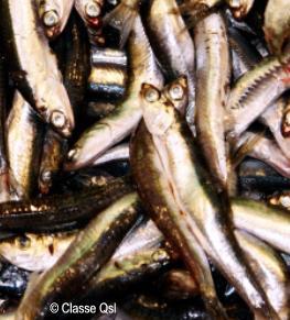 Sardinas, pescado azul