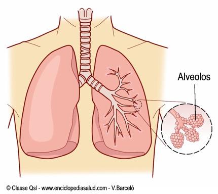 Pulmones y alveolos