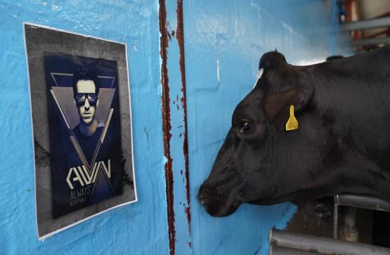Cows, cheese and... Calvin Harris?