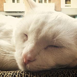 Het ruikt vertrouwd in het kattencafé