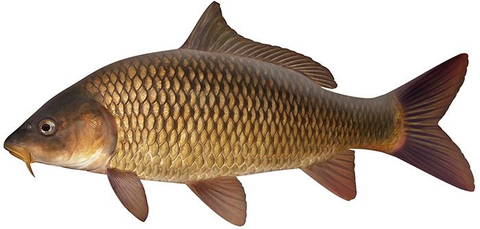 Carp (European carp)_Freshwater 017