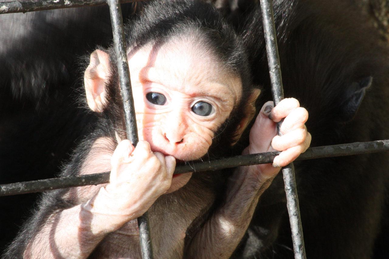 aap monkey dierproeven