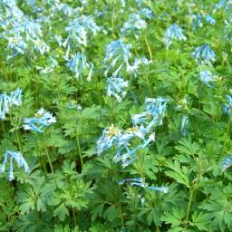Craigton Blue