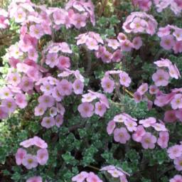 jaquemontii Pink Form
