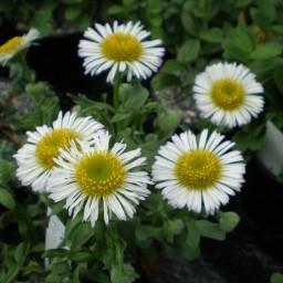Naturform (LN)