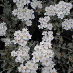 clavenae x umbellata