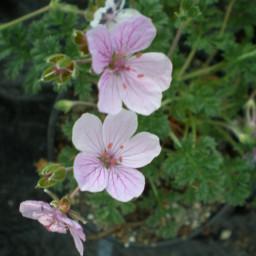 Merstham Pink