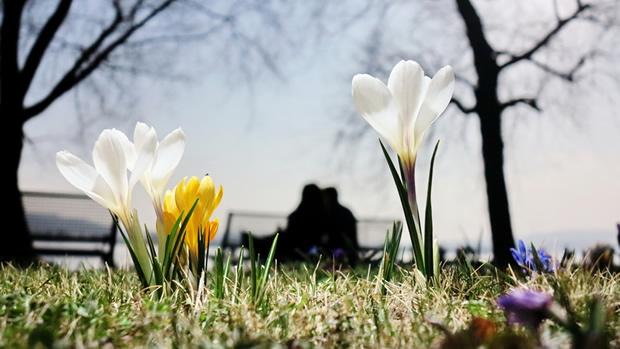 Beautiful Crocus Lawn
