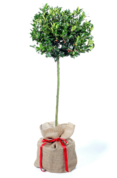 Holly, Trees Direct £70.00