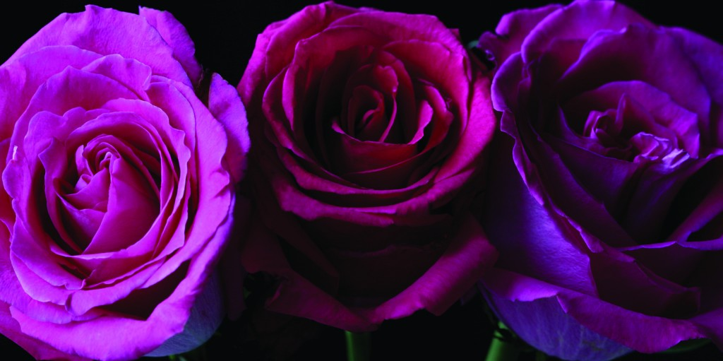 Plum Roses Canvas, Arthouse £12.00
