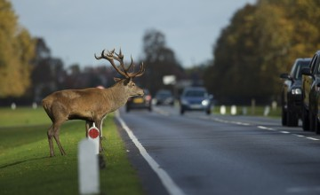 Stay clear of those rutting deer