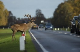 Deer at roadside