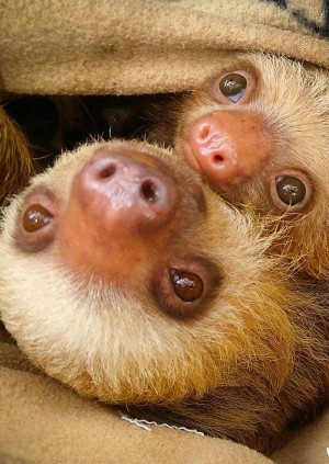 Wild Life Drawing Online: Sloths