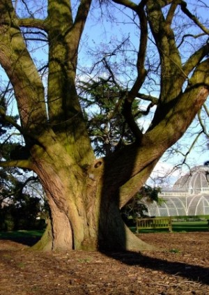 Historic Trees at Kew