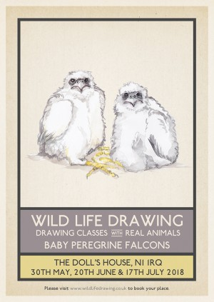 Wild Life Drawing: Baby Peregrine Falcons #1