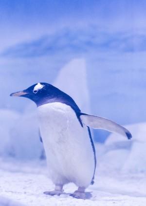 Wild Life Drawing Online: Penguins