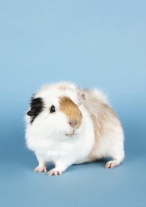 Wild Life Drawing Online: Guinea Pigs