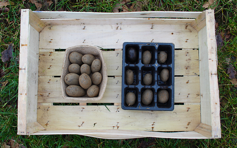 Potato House Organic Seed Potatoes Chitting