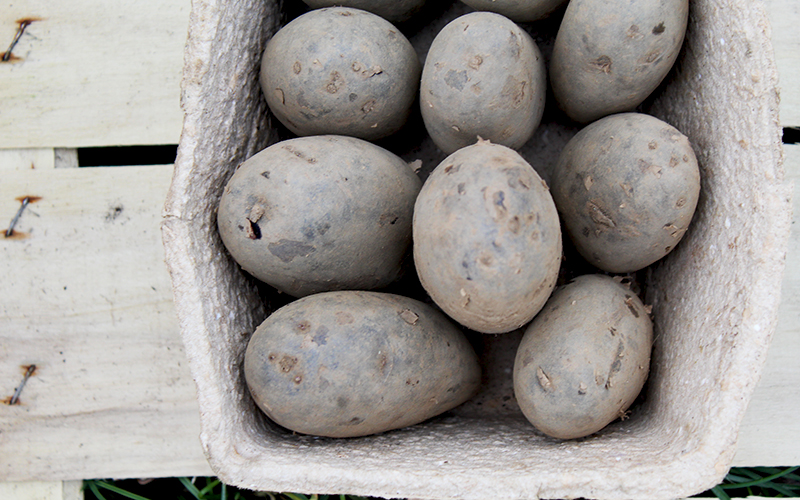 Chitting Organic Seed Potatoes Blue Potatoes