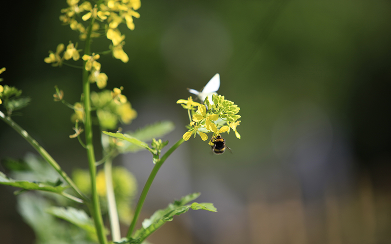 Wild bee pollinating organic plants and flowers