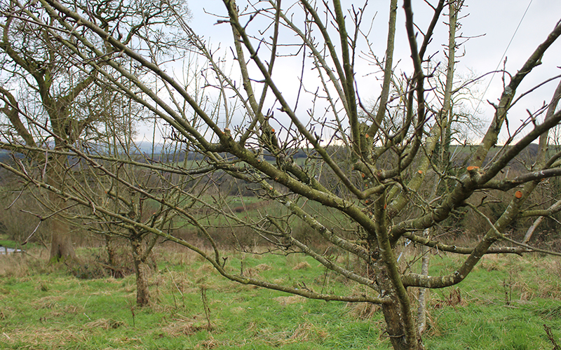 organic cider orchard apple tree pruning