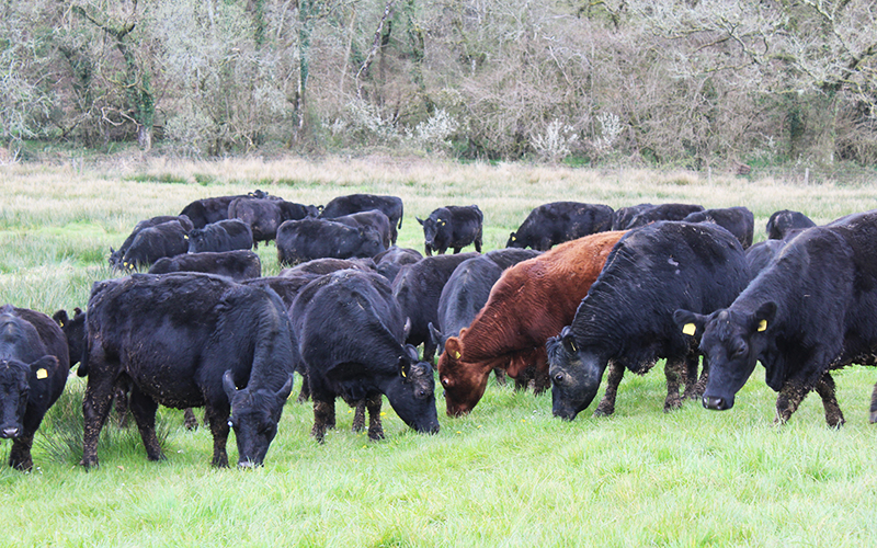 Are aberdeen angus grass-fed? organic beef