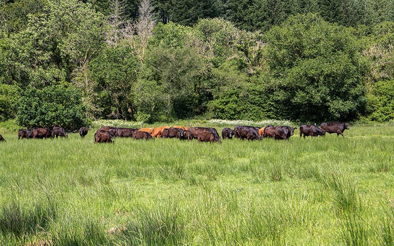 organic grass fed beef from organic farms across the uk, British beef