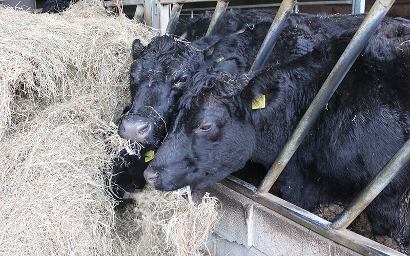 pasture-fed cattle eating organic hay