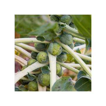 Brussels Sprouts 500g
