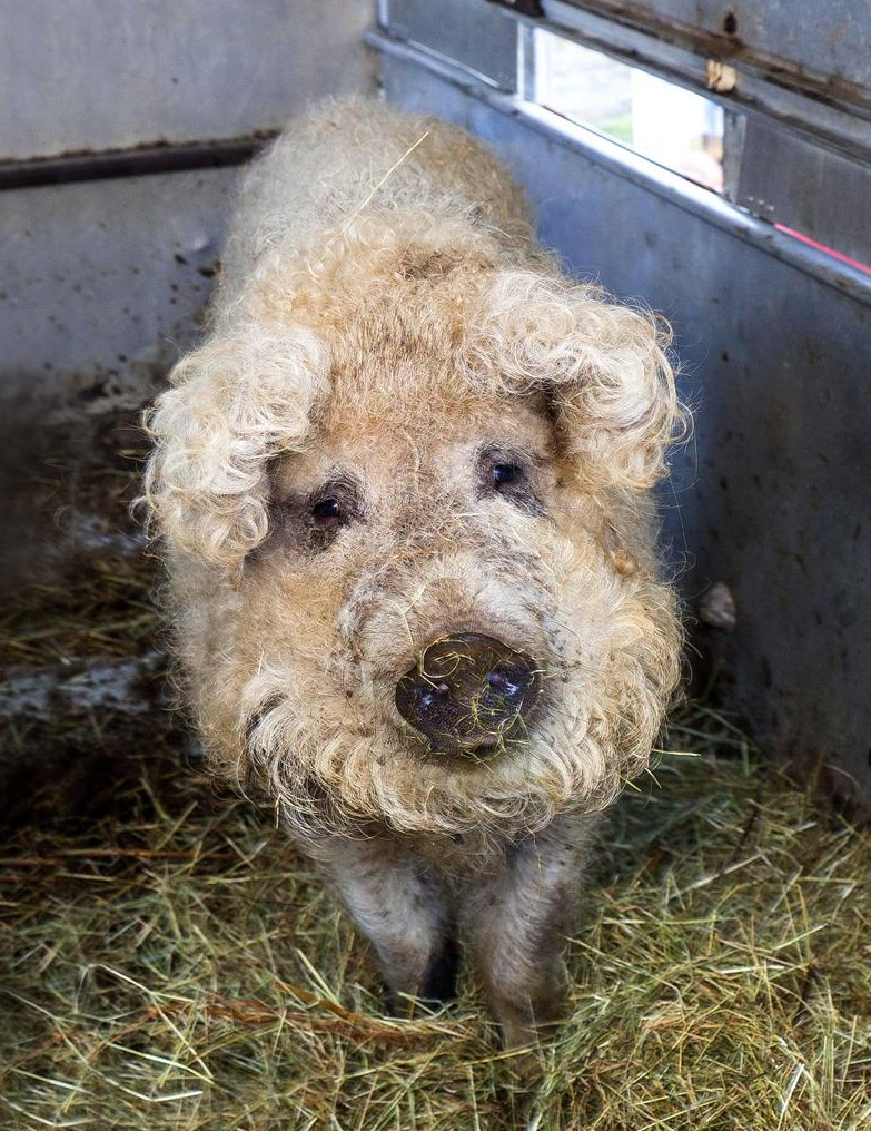 Sheep Pigs Exist Strange Sounds Amazing Weird And