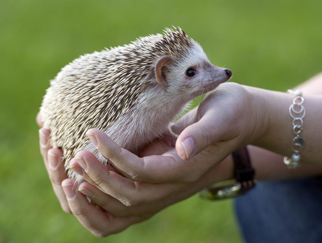 Think Carefully Before Buying A Mini Hedgehog