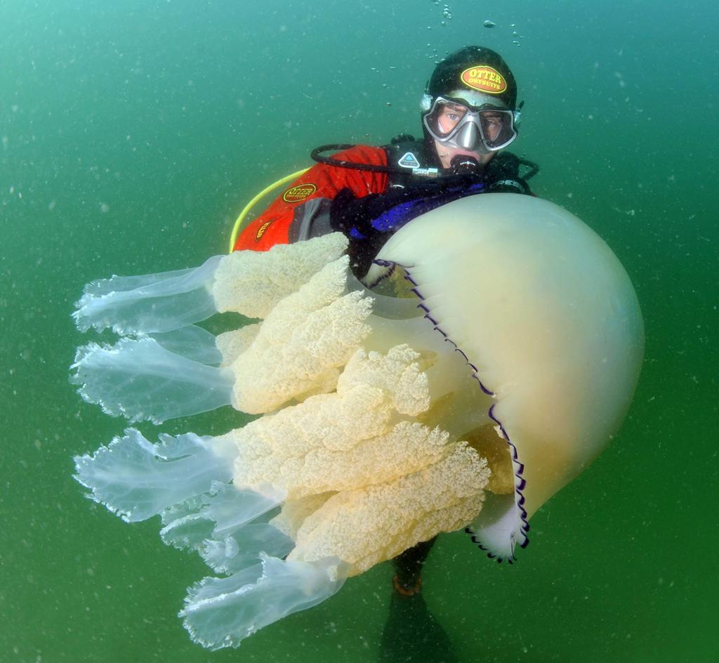 Giant jellyfish invasion