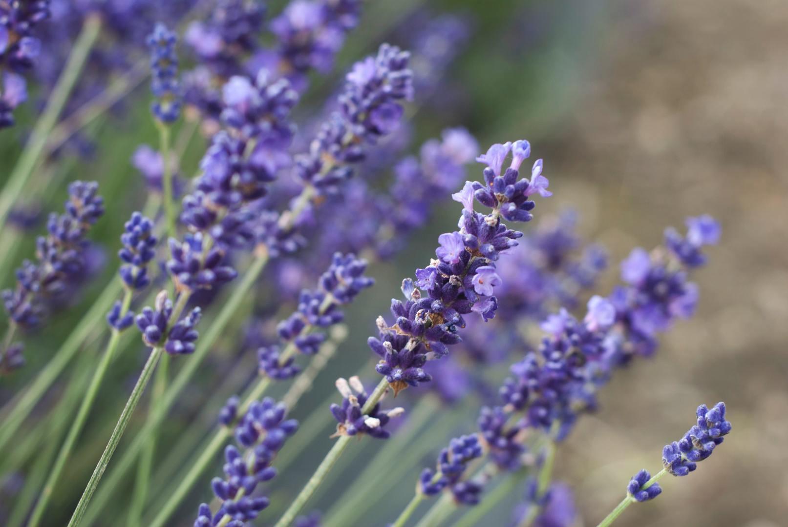 Lavender & Vintage Festival
