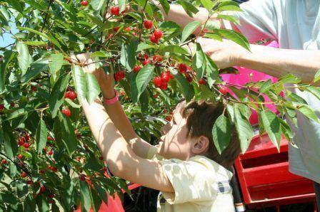 Varick Winery's 16th Annual Cherry Festival