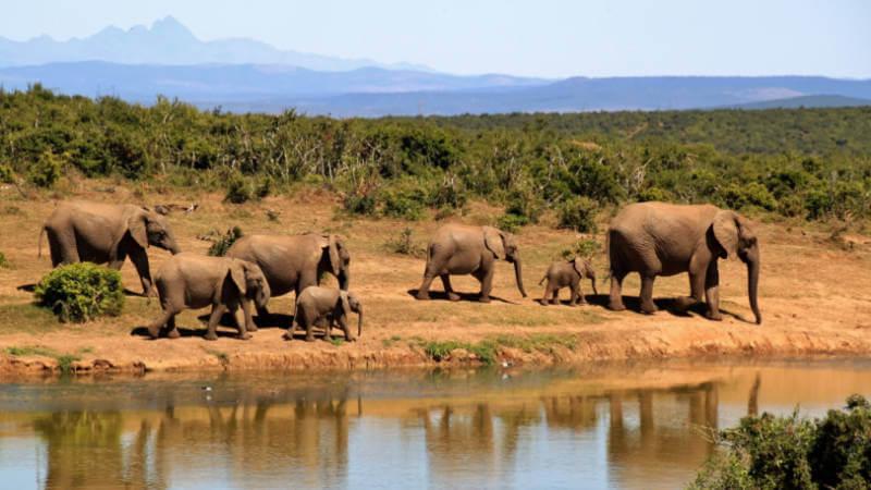 Herd of elephants walking past a watering hole