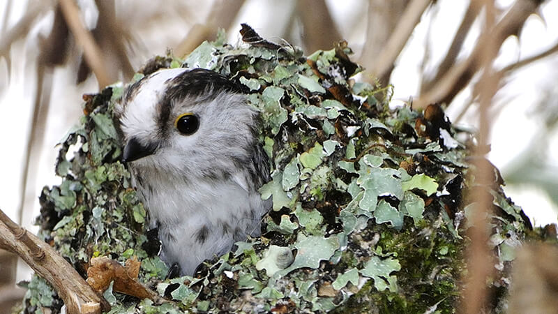 A long tailed tit in the nest