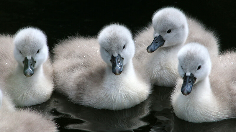 Four cute cygnets, who hatch later in spring – something to look forward to!