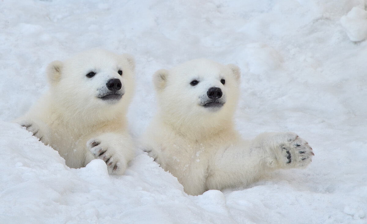 Two white polar bear cubs look out of a snow hole