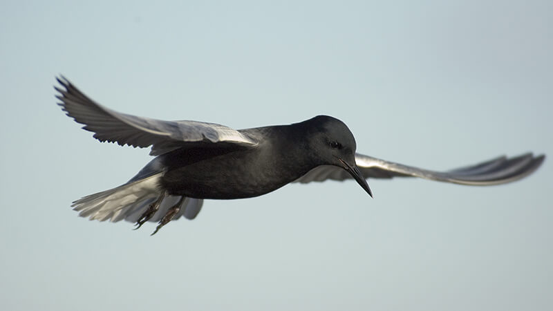 A black tern on the wing