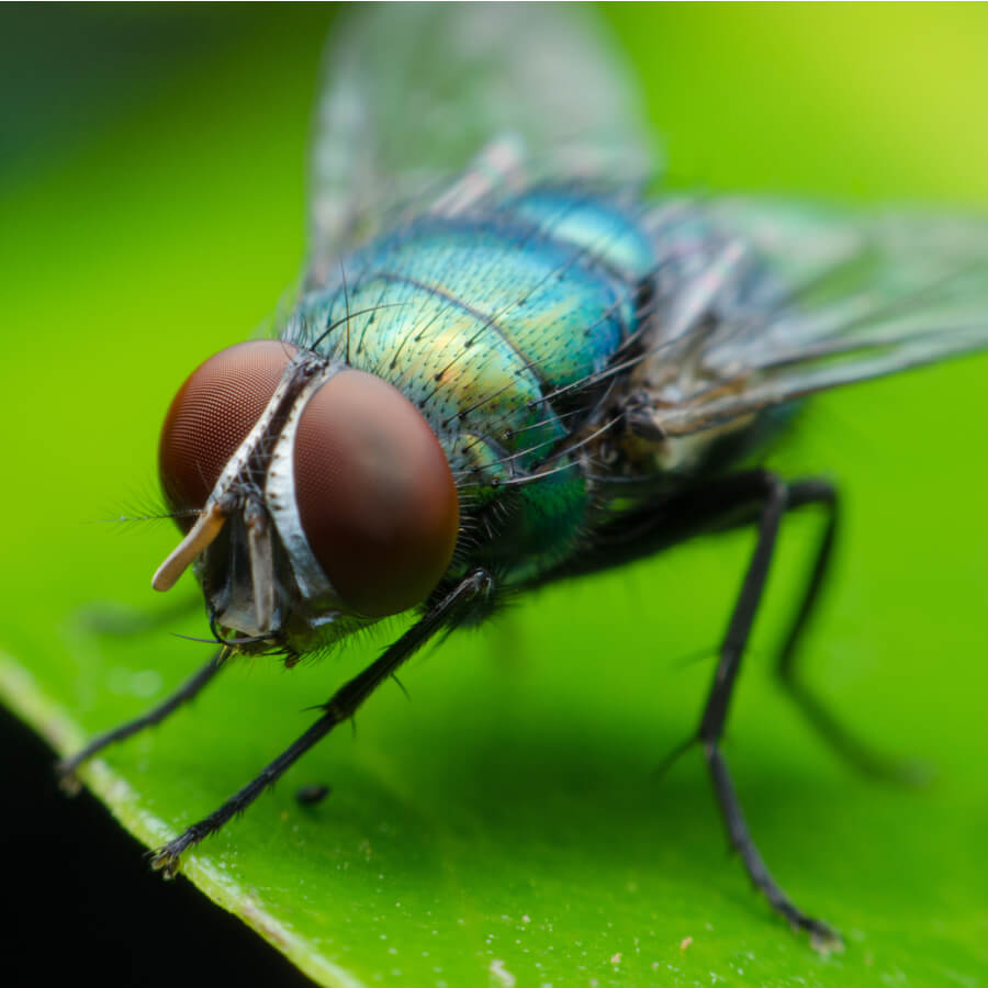 Bluebottle fly on a leaf