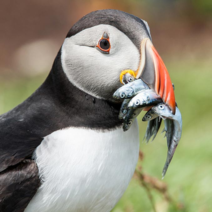 Puffin with a beakful of fish