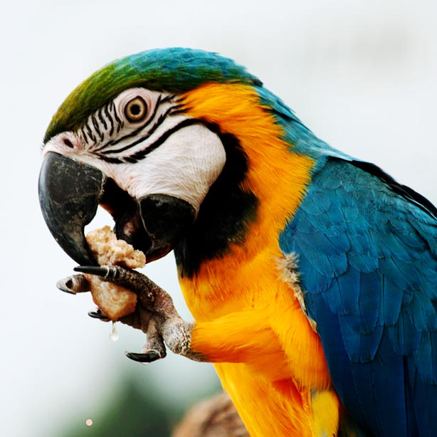 Blue and yellow macaw eating with its claws