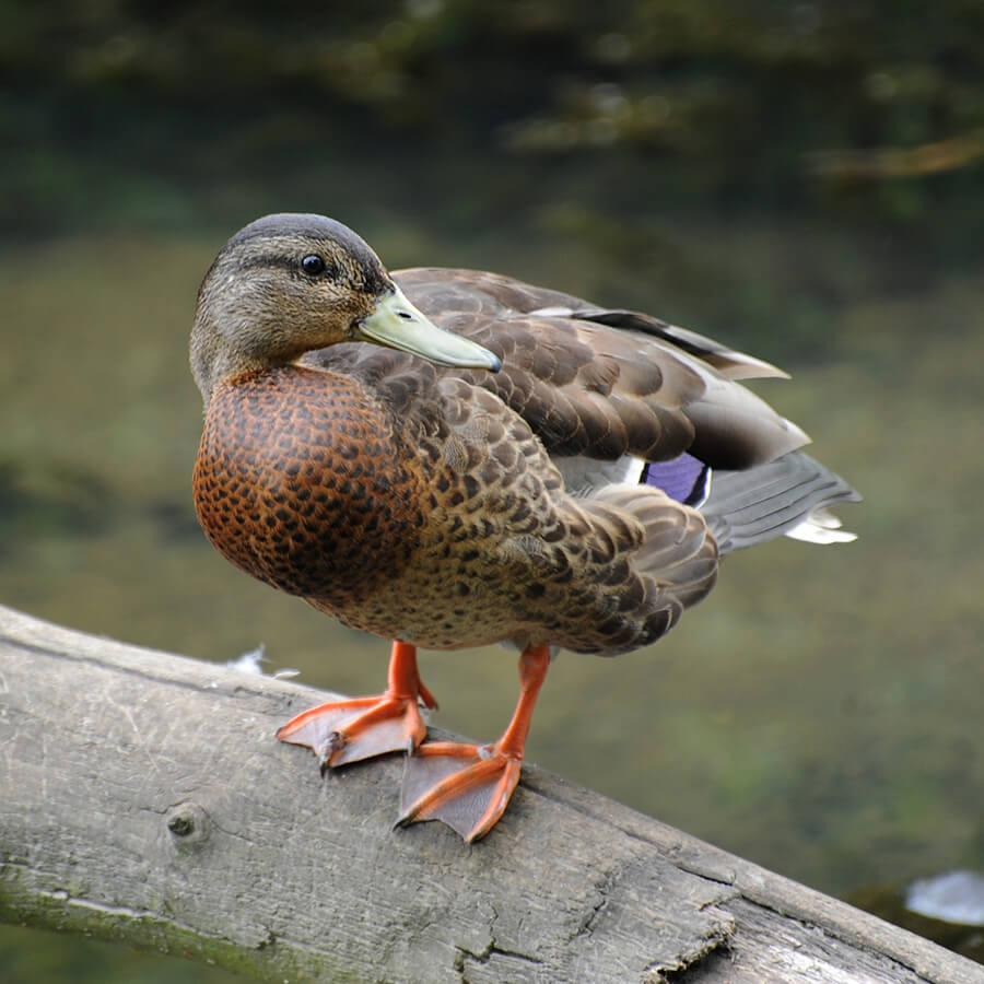A duck with webbed feet