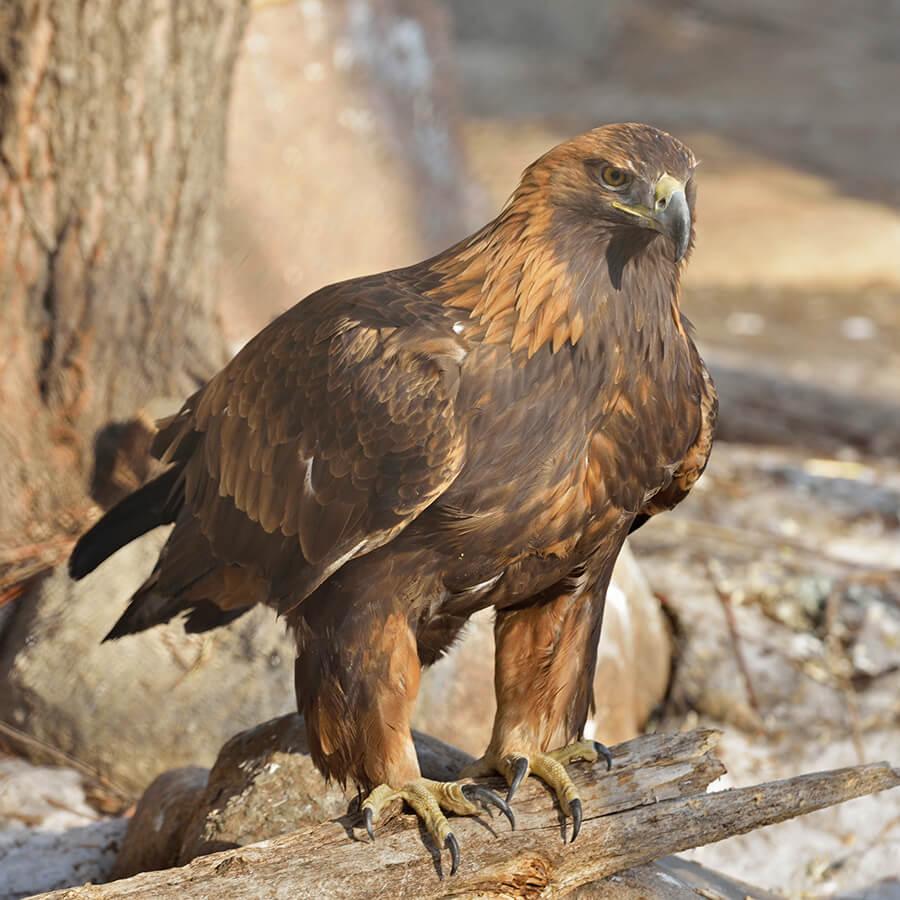 An eagle with webbed feet