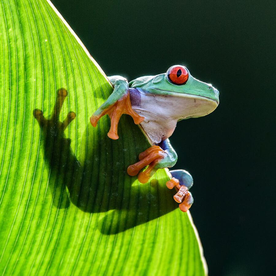 An Amazon Tree Frog with webbed feet