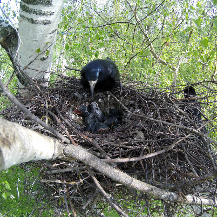 A rook's nest in a tree